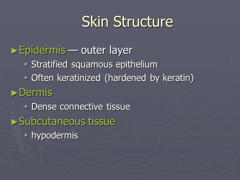 Skin Structure Epidermis outer layer Epidermis outer layer Stratified squamous epithelium Stratified squamous epithelium Often keratinized (hardened b