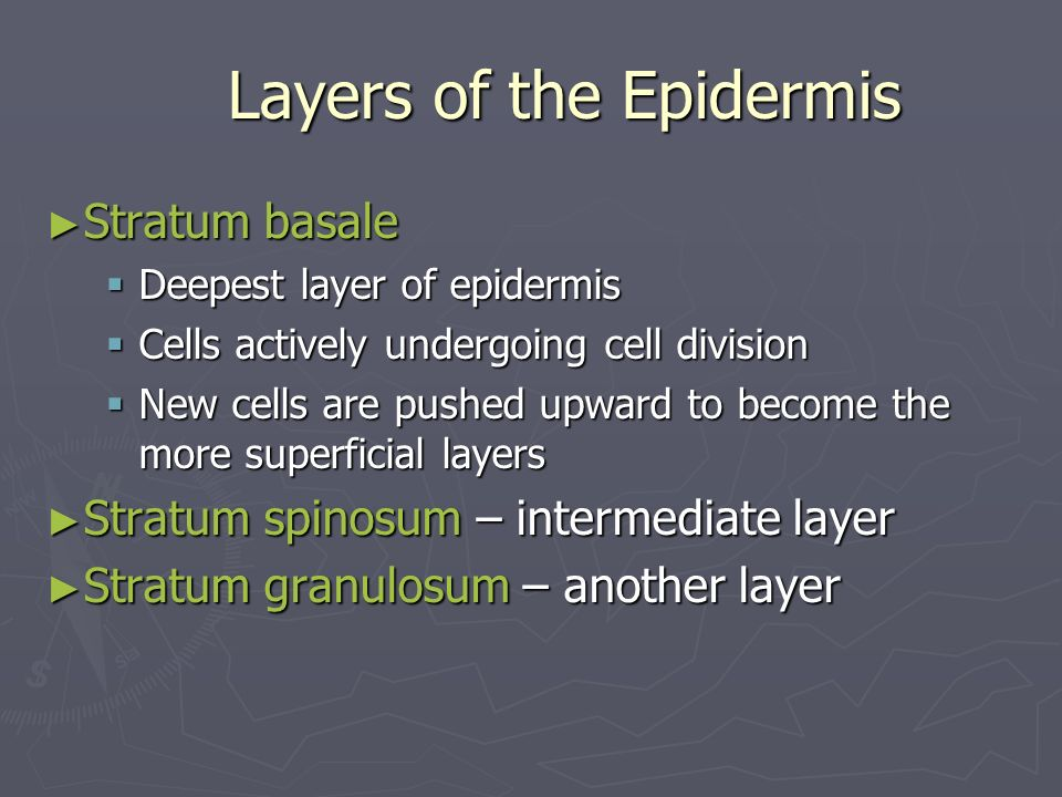 Layers of the Epidermis Stratum basale Stratum basale Deepest layer of epidermis Deepest layer of epidermis Cells actively undergoing cell division Ce