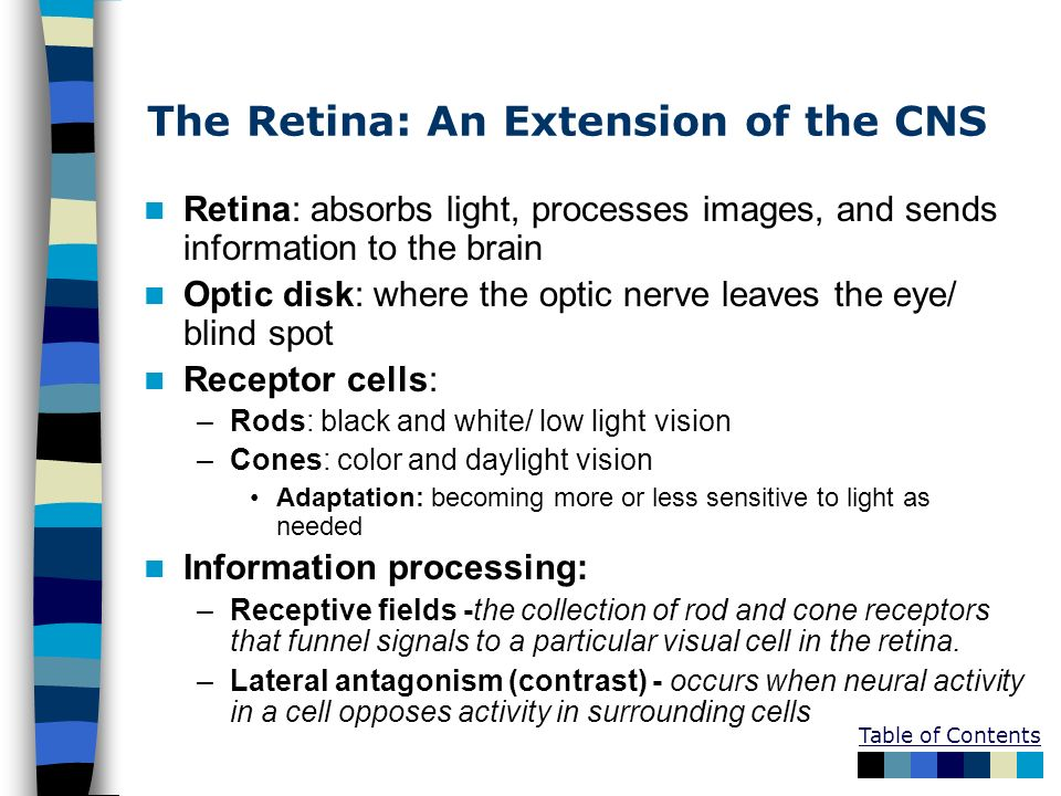Table of Contents The Retina: An Extension of the CNS Retina: absorbs light, processes images, and sends information to the brain Optic disk: where th