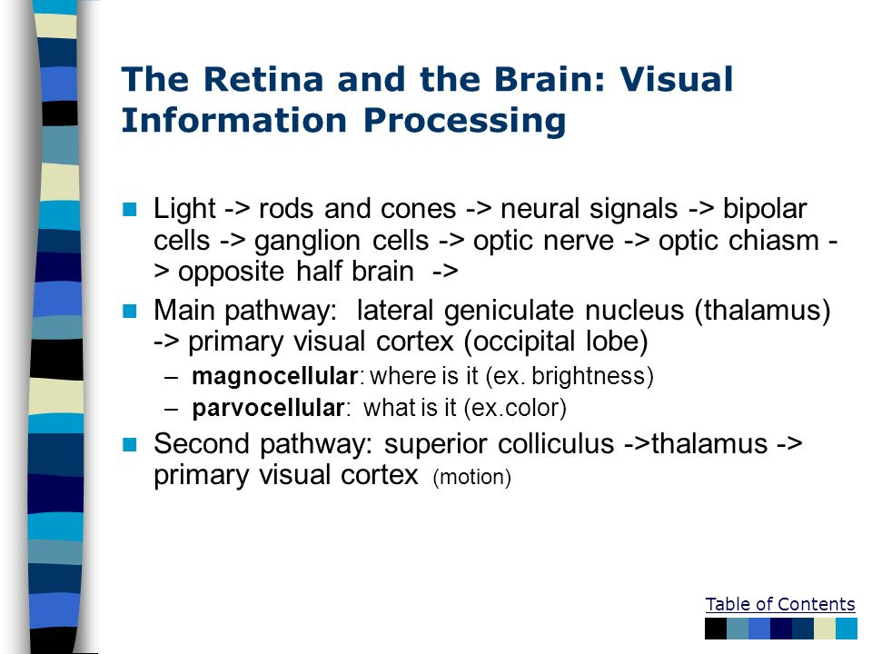 The Retina and the Brain: Visual Information Processing Light -> rods and cones -> neural signals -> bipolar cells -> ganglion cells -> optic nerve ->