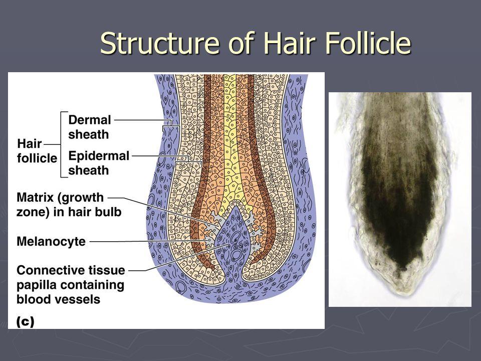 Hair Anatomy Hair anatomy Hair anatomy Central medulla Central medulla Cortex surrounds medulla Cortex surrounds medulla Cuticle on outside of cortex Cuticle on outside of cortex Most heavily keratinized Most heavily keratinized