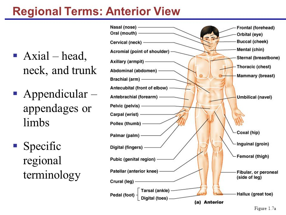 Regional Terms: Anterior View Axial – head, neck, and trunk Appendicular – appendages or limbs Specific regional terminology Figure 1.7a