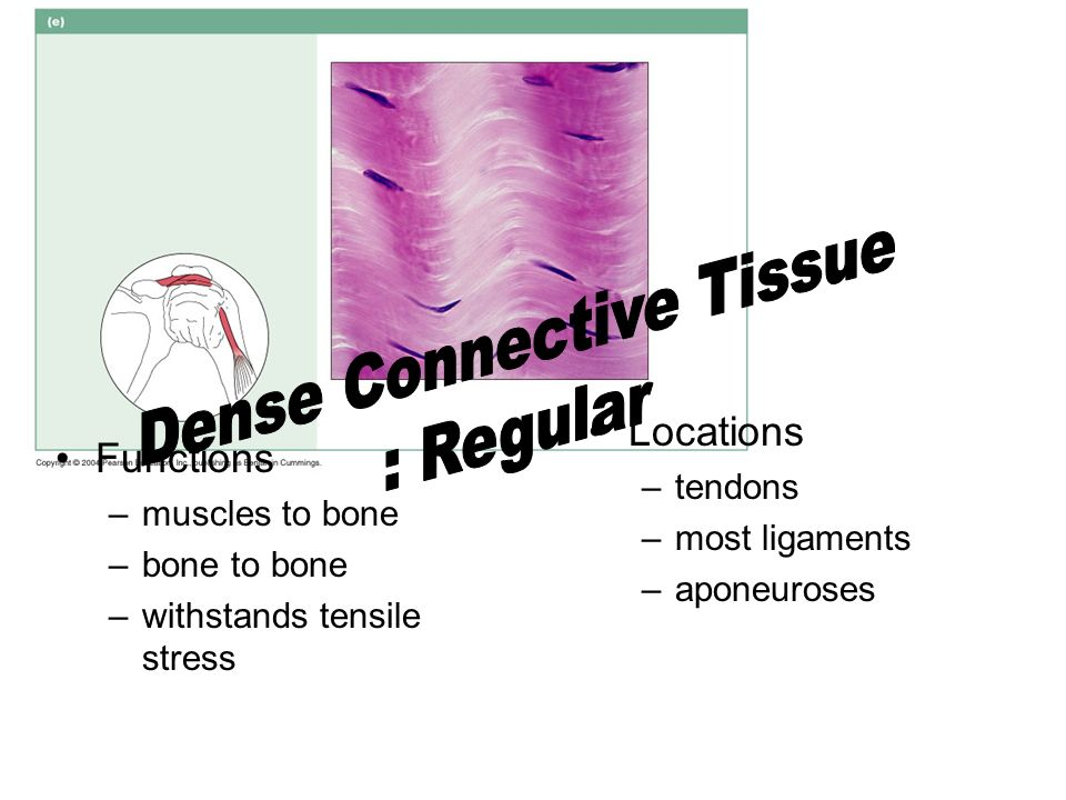 Functions –muscles to bone –bone to bone –withstands tensile stress Locations –tendons –most ligaments –aponeuroses