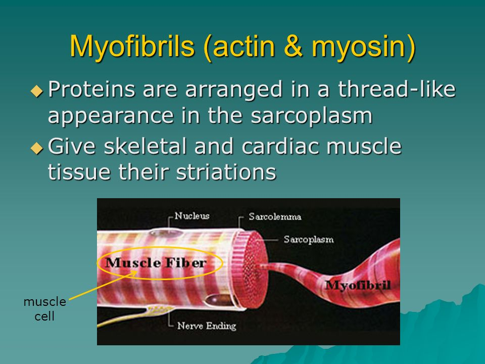 Myofibrils (actin & myosin) Proteins are arranged in a thread-like appearance in the sarcoplasm Proteins are arranged in a thread-like appearance in t
