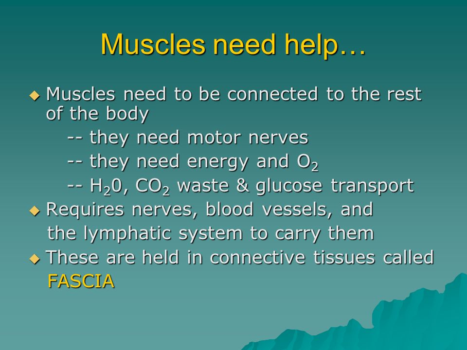 Muscles need help… Muscles need to be connected to the rest of the body Muscles need to be connected to the rest of the body -- they need motor nerves