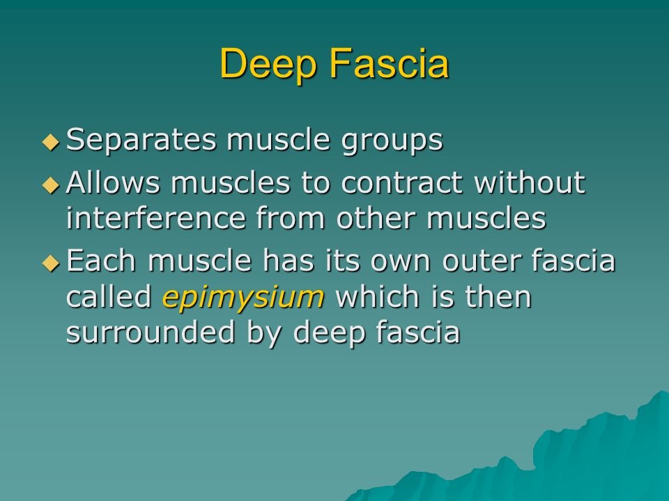 Deep Fascia Separates muscle groups Separates muscle groups Allows muscles to contract without interference from other muscles Allows muscles to contr