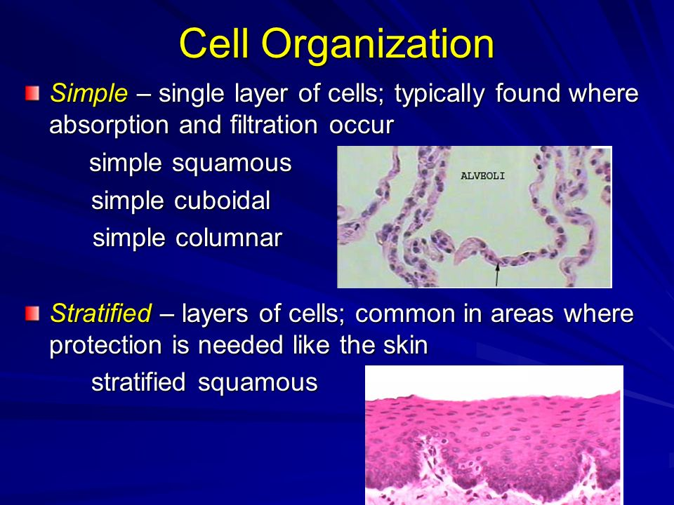 Cell Organization Simple – single layer of cells; typically found where absorption and filtration occur simple squamous simple squamous simple cuboida
