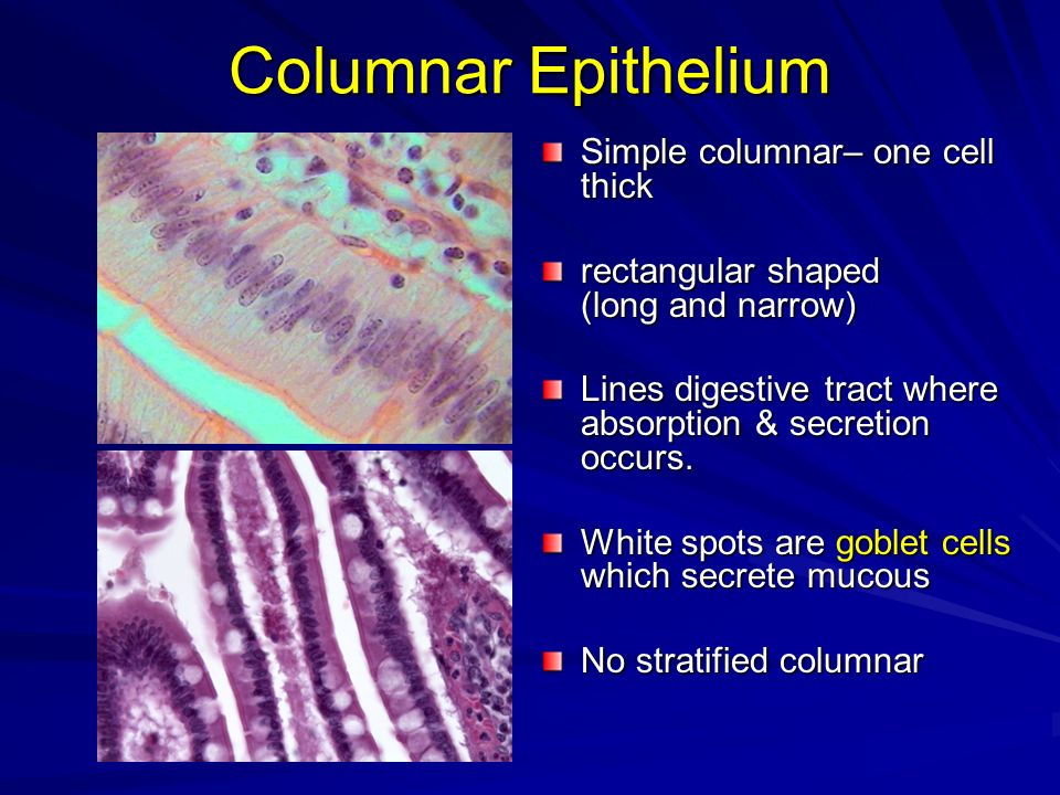 Columnar Epithelium Simple columnar– one cell thick rectangular shaped (long and narrow) Lines digestive tract where absorption & secretion occurs. Wh