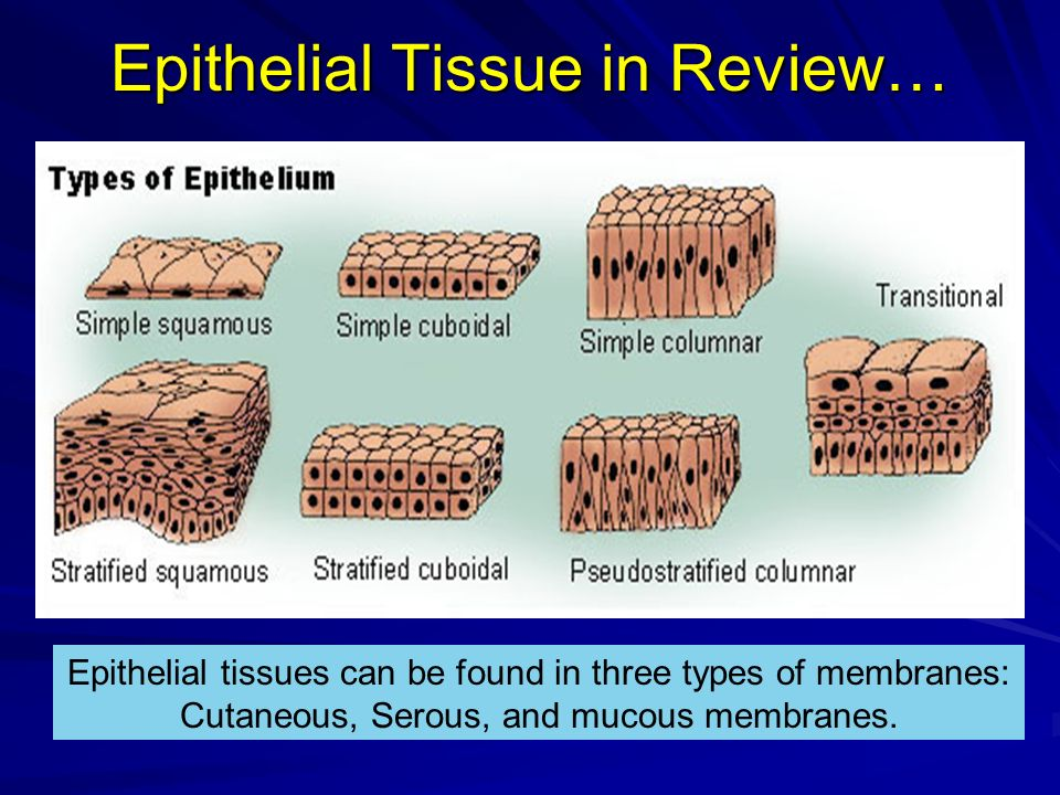 Epithelial Tissue in Review… Epithelial tissues can be found in three types of membranes: Cutaneous, Serous, and mucous membranes.