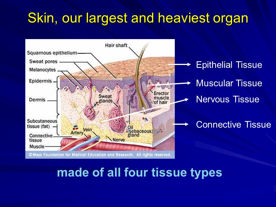 Skin, our largest and heaviest organ made of all four tissue types Epithelial Tissue Muscular Tissue Nervous Tissue Connective Tissue