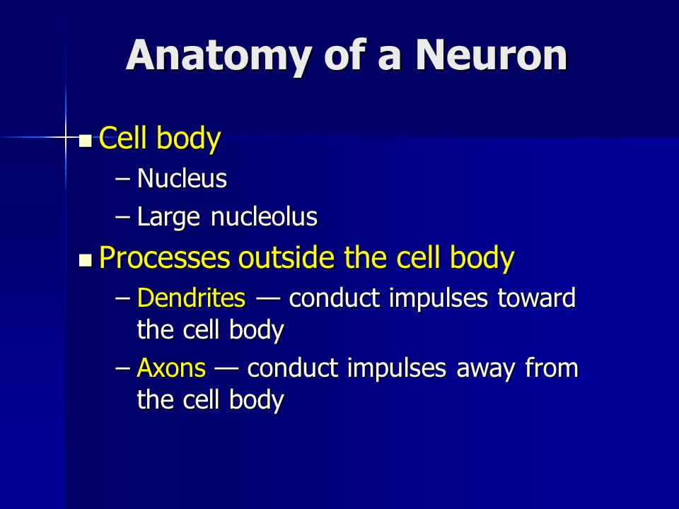Cell body Cell body –Nucleus –Large nucleolus Processes outside the cell body Processes outside the cell body –Dendrites conduct impulses toward the c