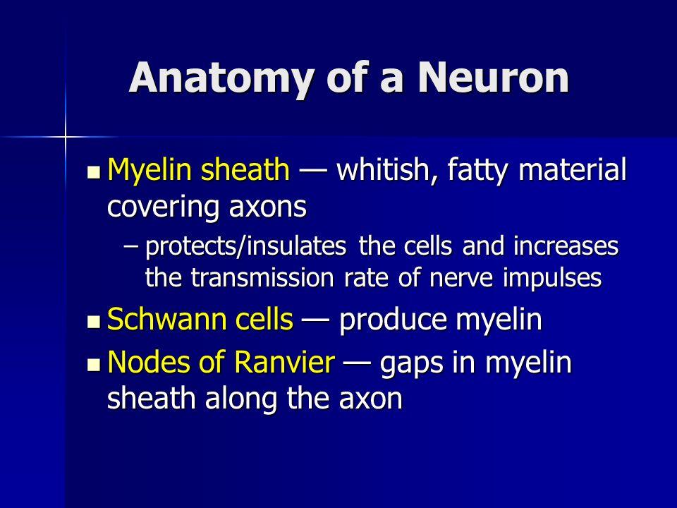 Anatomy of a Neuron Myelin sheath whitish, fatty material covering axons Myelin sheath whitish, fatty material covering axons –protects/insulates the