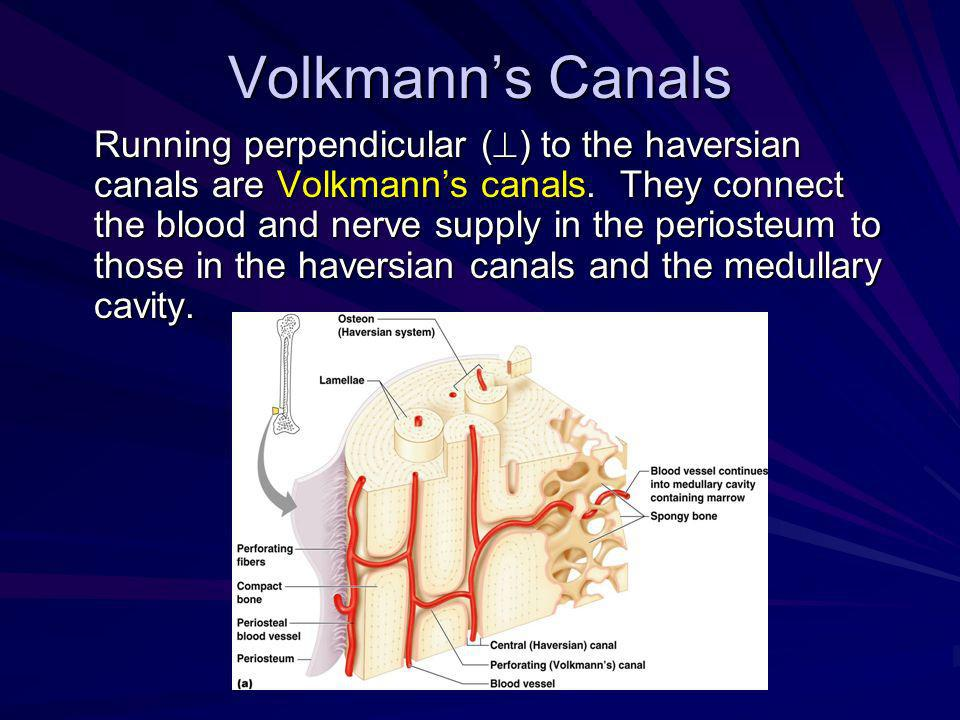Volkmanns Canals Running perpendicular ( ) to the haversian canals are Volkmanns canals. They connect the blood and nerve supply in the periosteum to
