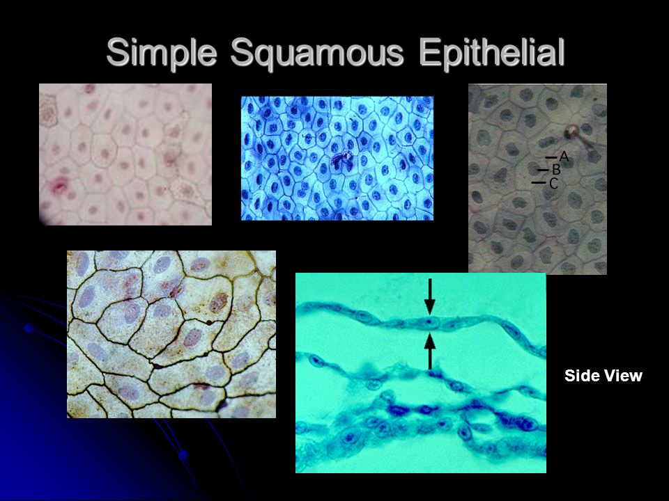 Simple Squamous Epithelial Side View