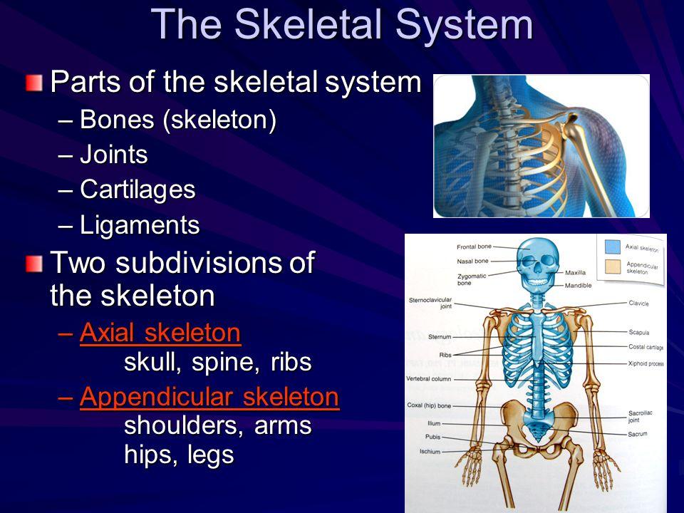 The Skeletal System Parts of the skeletal system –Bones (skeleton) –Joints –Cartilages –Ligaments Two subdivisions of the skeleton –Axial skeleton sku