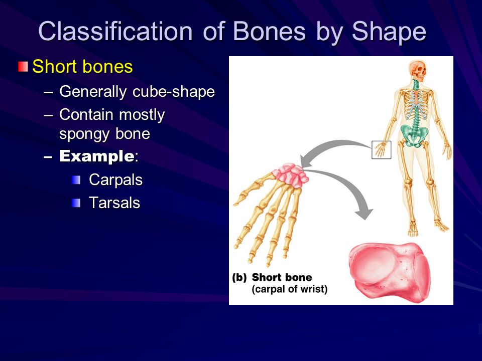 Classification of Bones by Shape Short bones –Generally cube-shape –Contain mostly spongy bone –Example : CarpalsTarsals