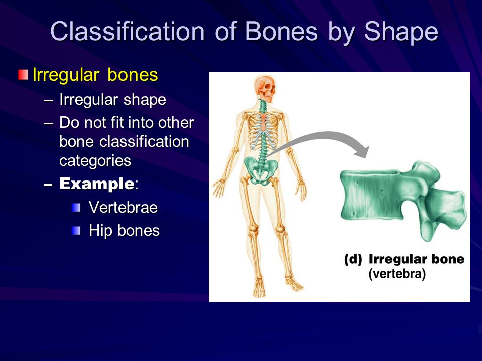 Classification of Bones by Shape Irregular bones –Irregular shape –Do not fit into other bone classification categories –Example : Vertebrae Hip bones