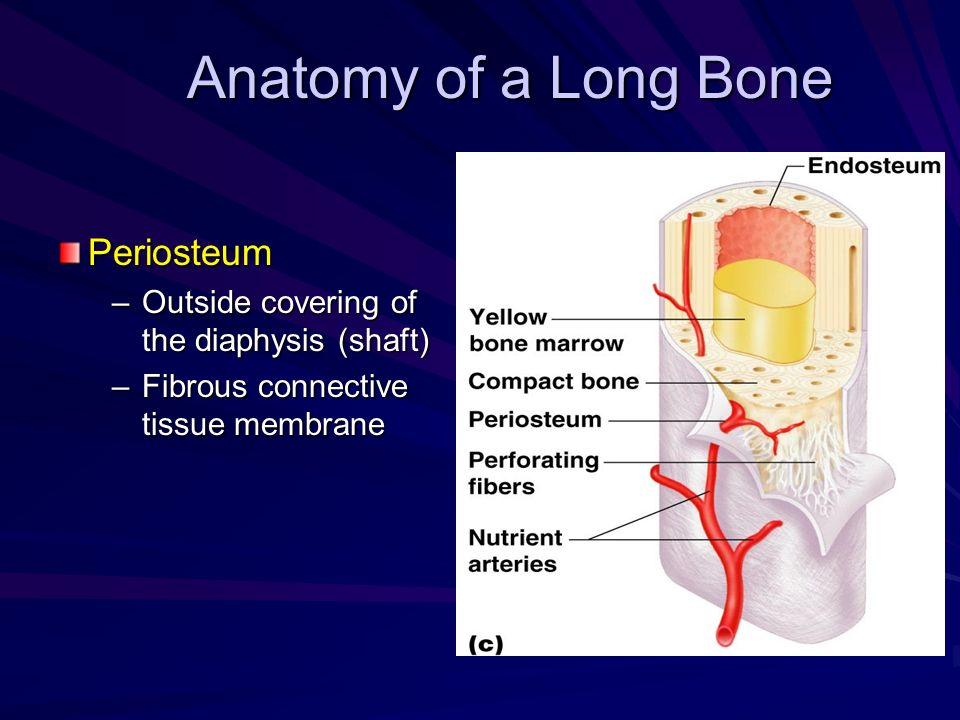 Anatomy of a Long Bone Periosteum –Outside covering of the diaphysis (shaft) –Fibrous connective tissue membrane