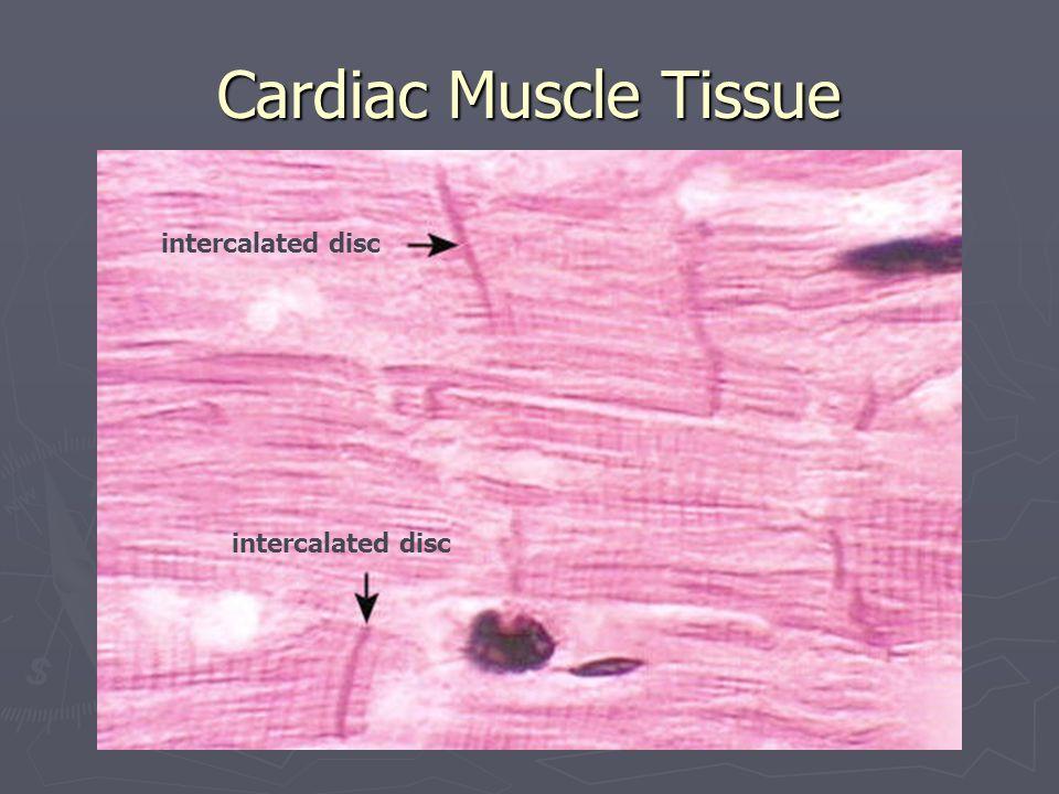Cardiac Muscle Tissue intercalated disc