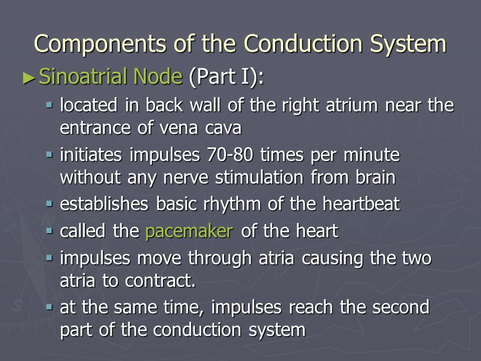 Components of the Conduction System Sinoatrial Node (Part I): Sinoatrial Node (Part I): located in back wall of the right atrium near the entrance of