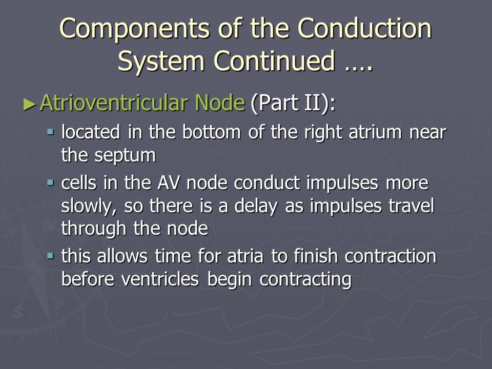 Components of the Conduction System Continued …. Atrioventricular Node (Part II): Atrioventricular Node (Part II): located in the bottom of the right