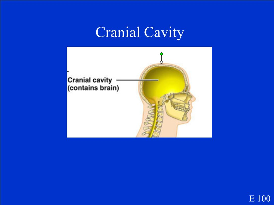 Which cavity protects the skull and encases the brain? E 100