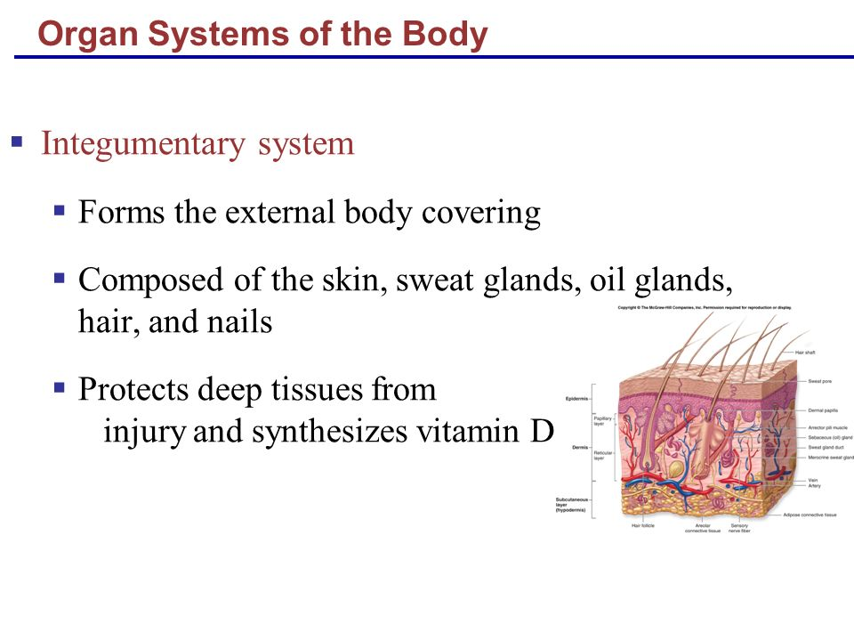 Organ Systems of the Body Skeletal system Composed of bone, cartilage, and ligaments Protects and supports body organs Provides the framework for muscles Site of blood cell formation Stores minerals