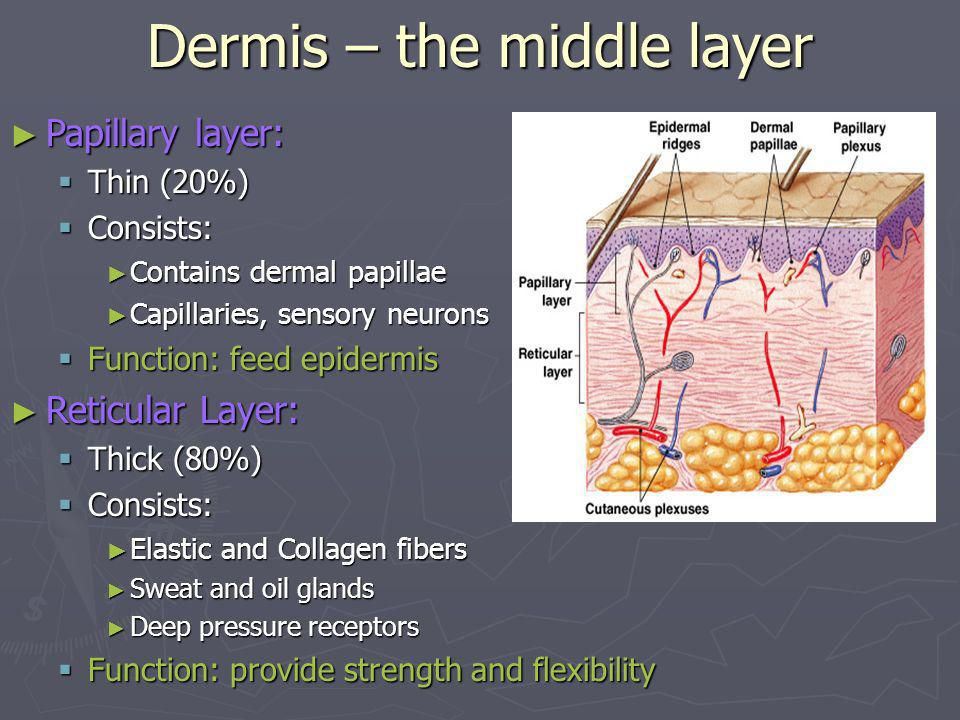 Dermis – the middle layer Papillary layer: Papillary layer: Thin (20%) Thin (20%) Consists: Consists: Contains dermal papillae Contains dermal papilla