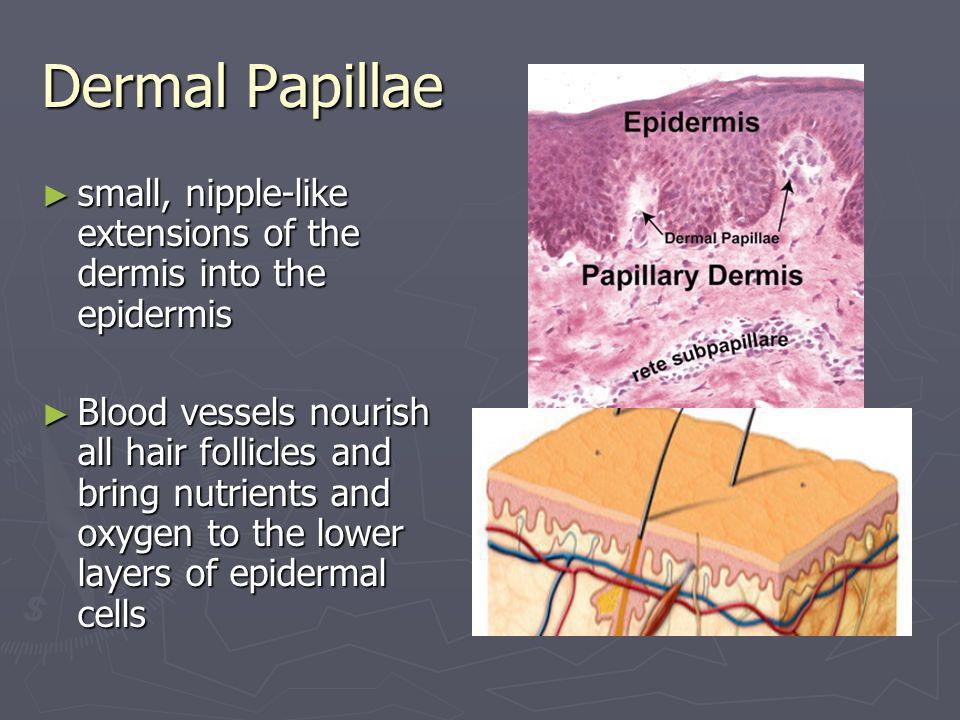 Dermal Papillae small, nipple-like extensions of the dermis into the epidermis small, nipple-like extensions of the dermis into the epidermis Blood ve
