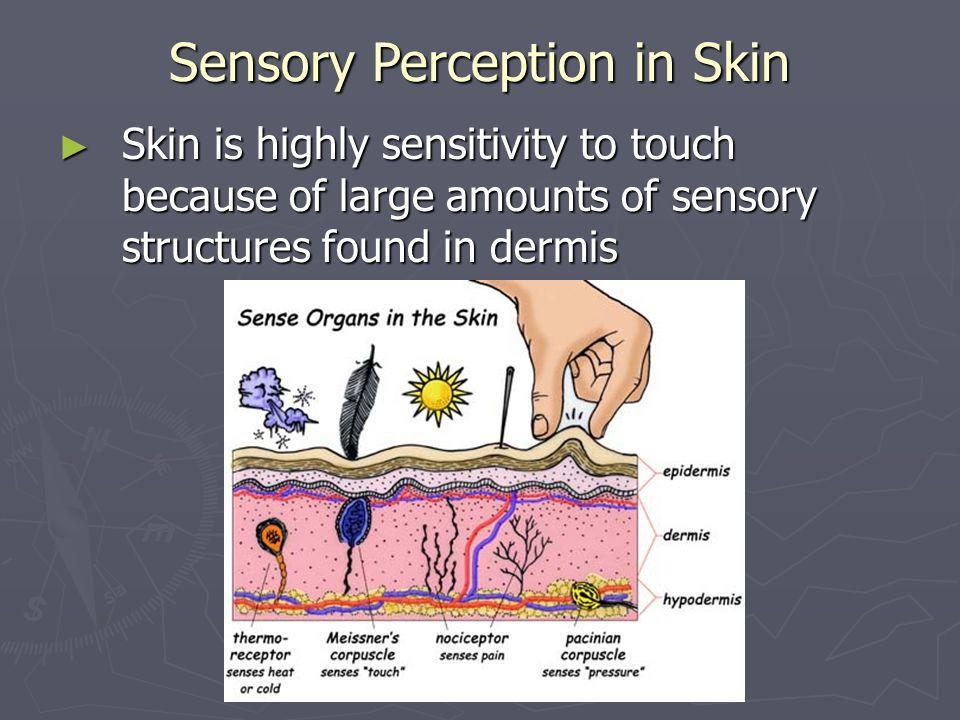 Sensory Perception in Skin Skin is highly sensitivity to touch because of large amounts of sensory structures found in dermis Skin is highly sensitivi