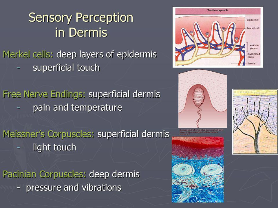 Sensory Perception in Dermis Merkel cells: deep layers of epidermis -superficial touch Free Nerve Endings: superficial dermis -pain and temperature Me