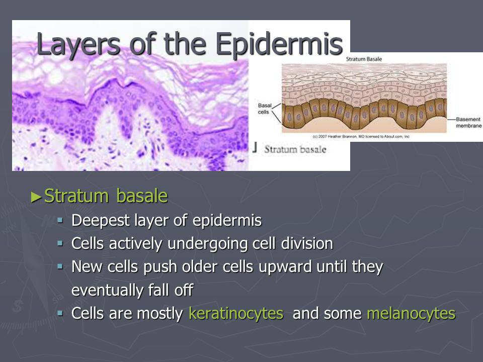 Stratum basale Stratum basale Deepest layer of epidermis Deepest layer of epidermis Cells actively undergoing cell division Cells actively undergoing