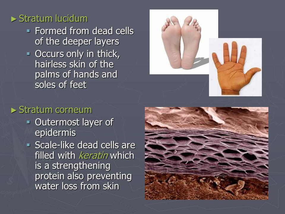 Stratum lucidum Stratum lucidum Formed from dead cells of the deeper layers Formed from dead cells of the deeper layers Occurs only in thick, hairless