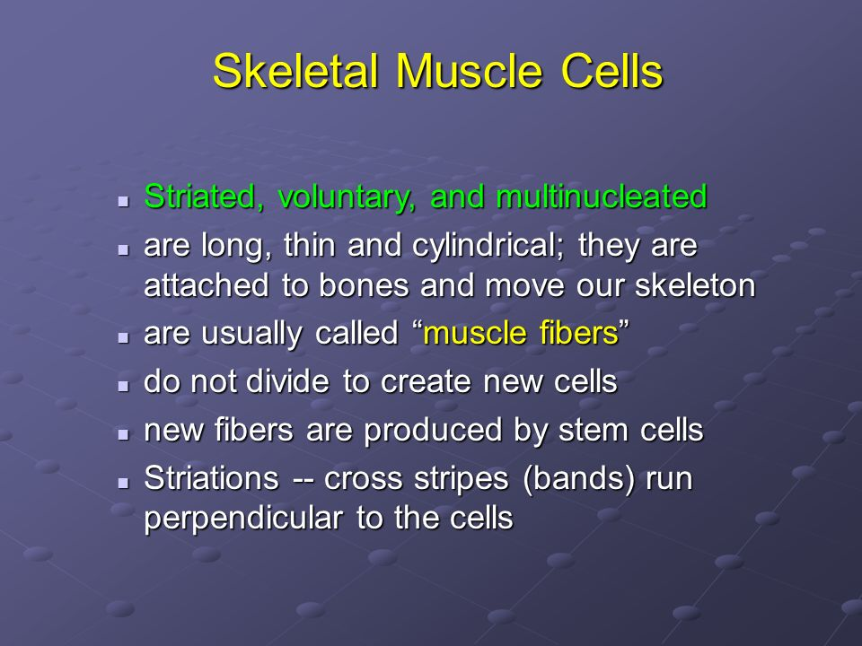 Skeletal Muscle Cells Striated, voluntary, and multinucleated Striated, voluntary, and multinucleated are long, thin and cylindrical; they are attache