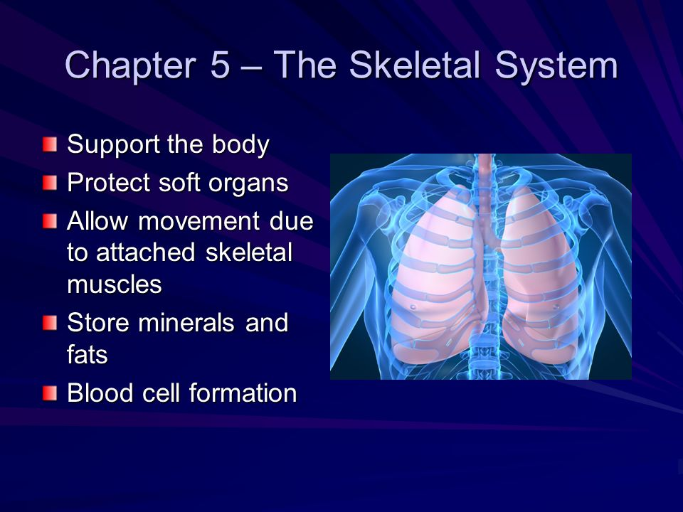 Chapter 5 – The Skeletal System Support the body Protect soft organs Allow movement due to attached skeletal muscles Store minerals and fats Blood cel
