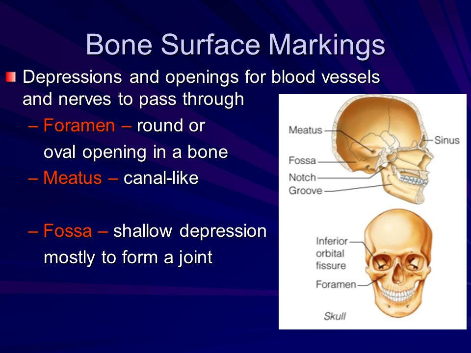 Bone Surface Markings Depressions and openings for blood vessels and nerves to pass through –Foramen – round or oval opening in a bone oval opening in