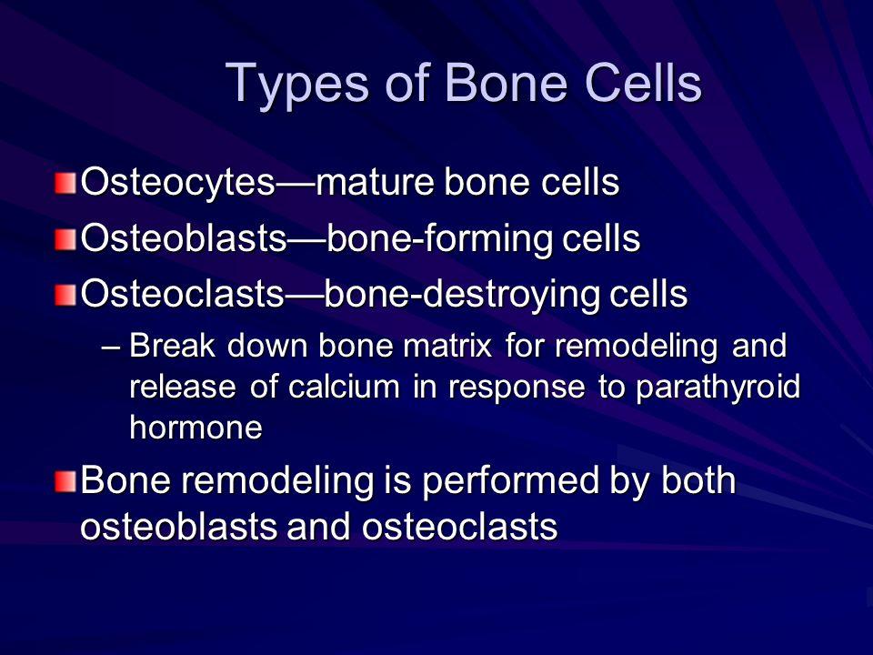 Types of Bone Cells Osteocytesmature bone cells Osteoblastsbone-forming cells Osteoclastsbone-destroying cells –Break down bone matrix for remodeling