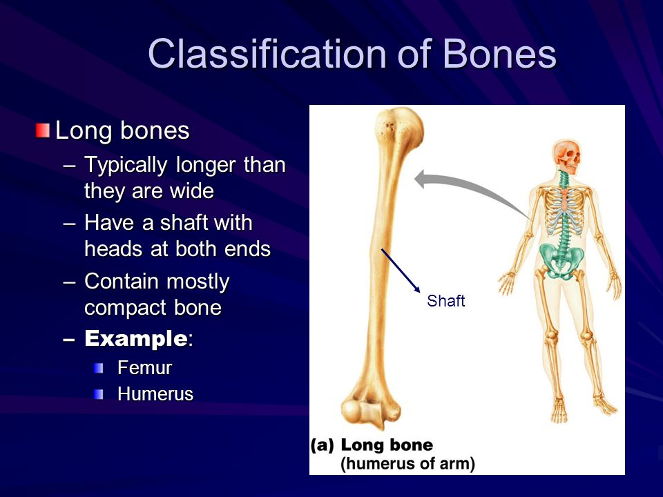 Classification of Bones Long bones –Typically longer than they are wide –Have a shaft with heads at both ends –Contain mostly compact bone –Example :
