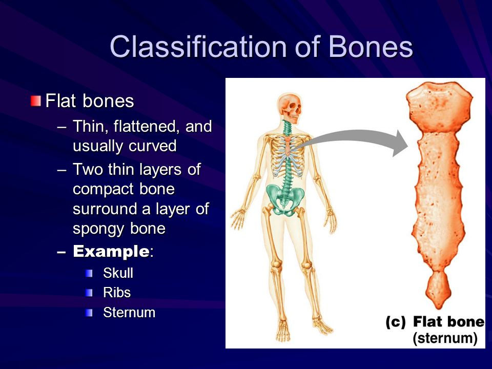 Classification of Bones Flat bones –Thin, flattened, and usually curved –Two thin layers of compact bone surround a layer of spongy bone –Example : Sk