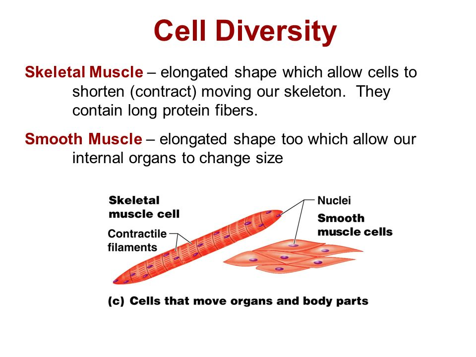 Cell Diversity Skeletal Muscle – elongated shape which allow cells to shorten (contract) moving our skeleton.