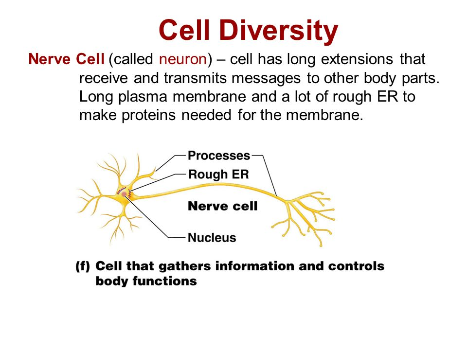 Cell Diversity Nerve Cell (called neuron) – cell has long extensions that receive and transmits messages to other body parts.