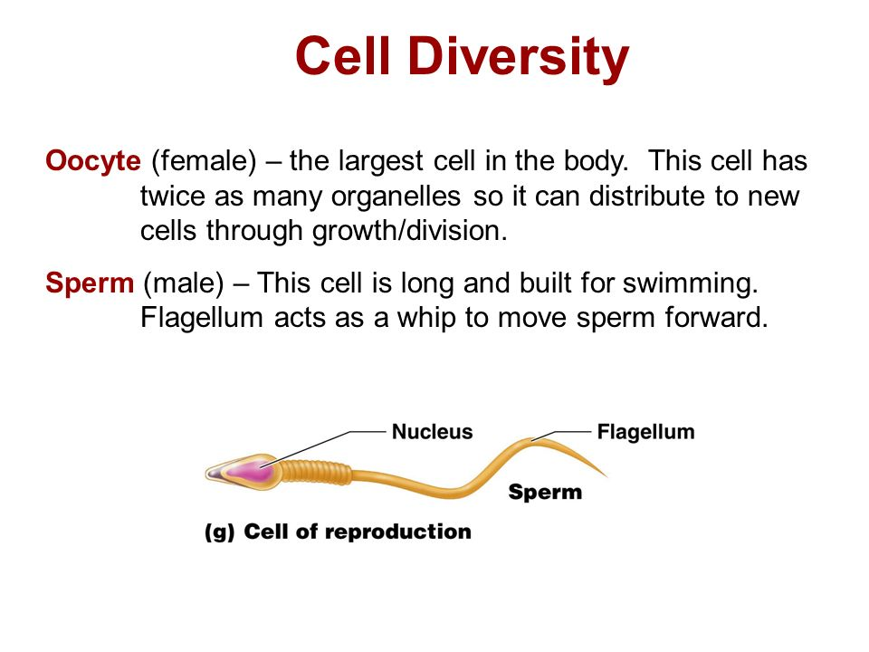 Cell Diversity Oocyte (female) – the largest cell in the body.