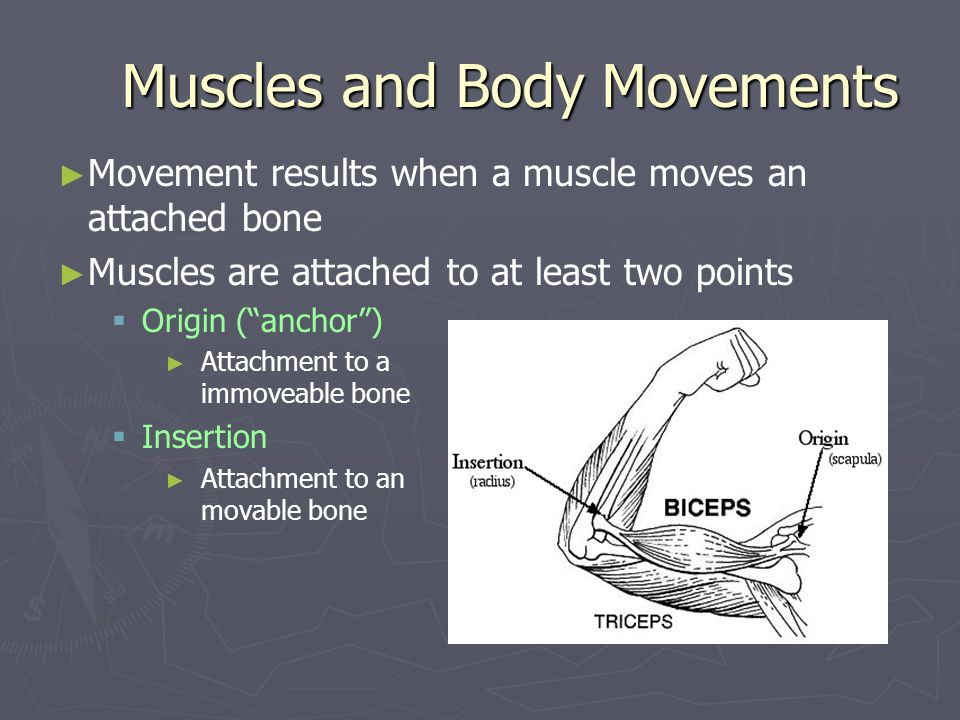 Muscles and Body Movements Movement results when a muscle moves an attached bone Muscles are attached to at least two points Origin (anchor) Attachmen