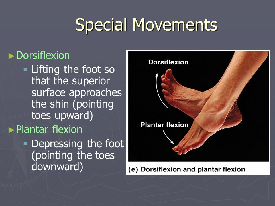 Special Movements Dorsiflexion Lifting the foot so that the superior surface approaches the shin (pointing toes upward) Plantar flexion Depressing the