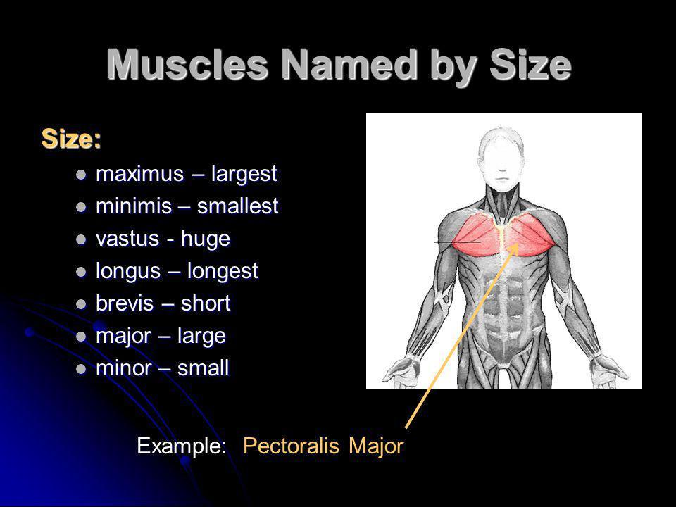 Muscles Named by Size Size: maximus – largest maximus – largest minimis – smallest minimis – smallest vastus - huge vastus - huge longus – longest lon
