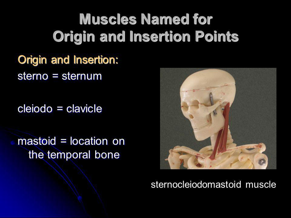 Muscles Named for Action Action: flexor carpi radialis – flexes wrist flexor carpi radialis – flexes wrist abductor magnus – abducts the thigh abductor magnus – abducts the thigh extensor digitorum – extends the fingers extensor digitorum – extends the fingers levator – lifts a structure levator – lifts a structure