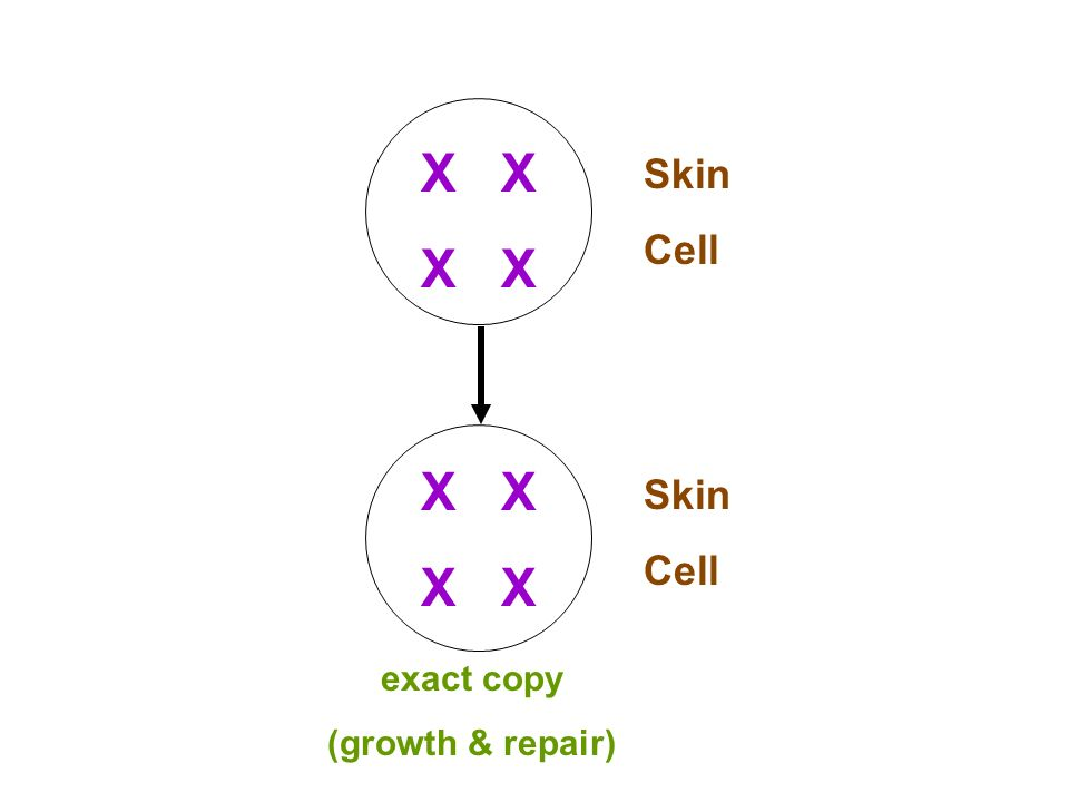X Skin Cell Skin Cell exact copy (growth & repair)