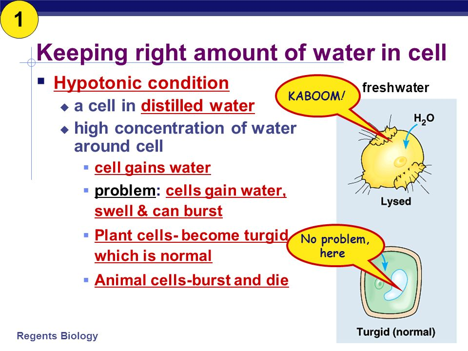 Regents Biology Osmosis Water is very important, so we talk about water separately Osmosis diffusion of water from HIGH concentration of water to LOW