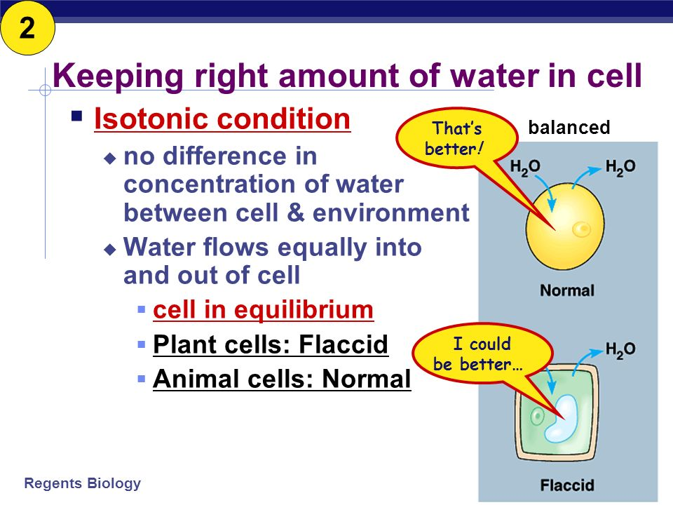 Regents Biology Keeping right amount of water in cell Hypotonic condition a cell in distilled water high concentration of water around cell cell gains