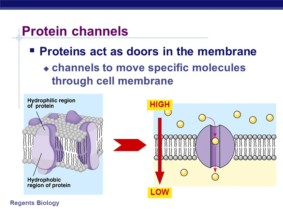 Regents Biology Cell membrane channels Need to make doors through membrane protein channels allow substances in & out specific channels allow specific
